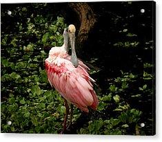 Pink Spoonbill Acrylic Print by Rosalie Scanlon