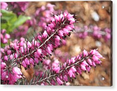 Pink Spray Of Flowers Acrylic Print by Robert Bewick