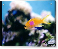 Pink Square Anthias Part II Acrylic Print by Steve  Heit
