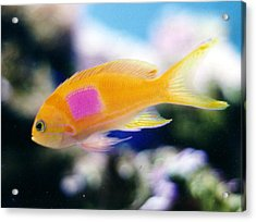 Pink Square Anthias Acrylic Print by Steve  Heit