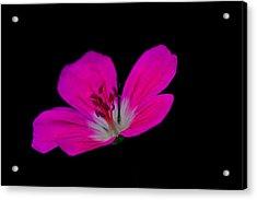 Pink Stamen Acrylic Print by Richard Patmore