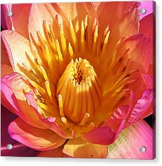 Pink Suprise Acrylic Print