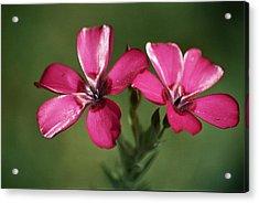 Pink Suspension Acrylic Print