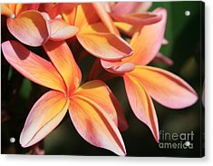 Pink Tropical Plumeria Makawao Maui Hawaii Acrylic Print
