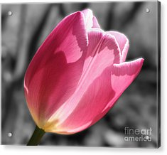 Pink Tulip On Black And White Acrylic Print by Smilin Eyes  Treasures