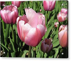Pink Tulip Acrylic Print by Richard Mitchell