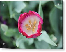 Pink Tulip Top View Acrylic Print
