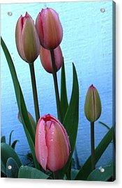 Pink Tulips 2012 Acrylic Print