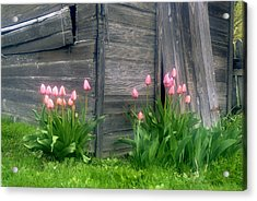 Pink Tulips And Weathered Shed Acrylic Print by Roger Soule