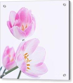 Pink Tulips Acrylic Print by Hideaki Sakurai