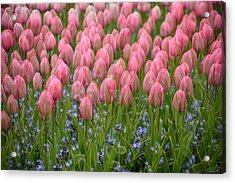 Acrylic Print featuring the photograph Pink Tulips by Phyllis Peterson