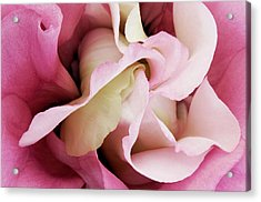 Pink Vortex Lisianthus Visit Www.angeliniphoto.com For More Acrylic Print by Mary Angelini