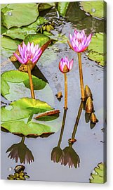 Pink Water Lilies In A Pond Acrylic Print