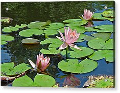 Pink Water Lilies Acrylic Print by Suzanne Gaff