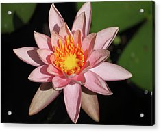 Pink Water Lily 2016 Acrylic Print by Suzanne Gaff