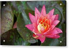 Acrylic Print featuring the photograph Pink Water Lily Beauty by Amee Cave