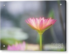 Pink Water Lily Acrylic Print by Ron Dahlquist - Printscapes