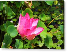 Pink Water Lotus Acrylic Print by Michael Palmer