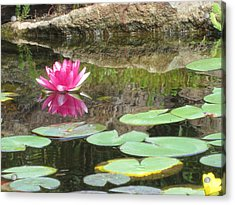Pink Waterlilly  Acrylic Print