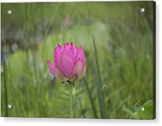 Pink Waterlily Bud Acrylic Print by Linda Geiger