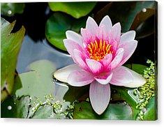 Pink Waterlily Acrylic Print by Daniel Precht