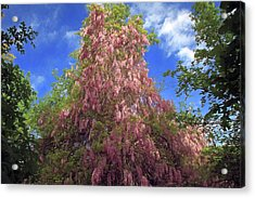Acrylic Print featuring the photograph Pink Wisteria by Donna Kennedy