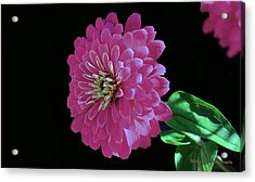 Pink Zinnia Acrylic Print by William Lallemand