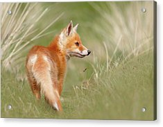 Pinocchio - The Long Nosed Fox Kit Acrylic Print by Roeselien Raimond