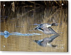 Pintail Departure Acrylic Print