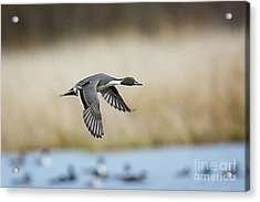 Pintail Duck Acrylic Print