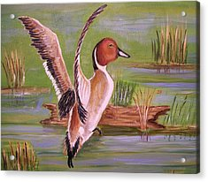 Pintail Duck II Acrylic Print by Belinda Lawson