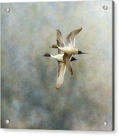 Acrylic Print featuring the photograph Pintail Duo by Angie Vogel