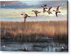 Pintail Fly By Acrylic Print