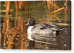 Acrylic Print featuring the photograph Pintail by Kelly Marquardt