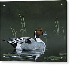 Pintail Portrait Acrylic Print by Don Griffiths