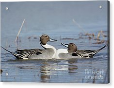Pintails Acrylic Print