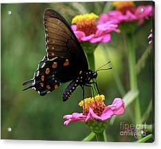Acrylic Print featuring the photograph Pipevine Swallowtail Butterfly by Donna Brown