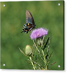 Acrylic Print featuring the photograph Pipevine Swallowtail by Sandy Keeton