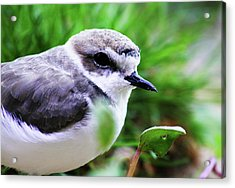 Acrylic Print featuring the photograph Piping Plover by Anthony Jones