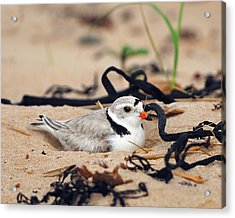 Piping Plover Acrylic Print