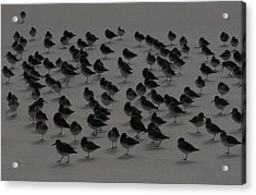 Piping Plovers Congregation Acrylic Print by Christopher Kirby
