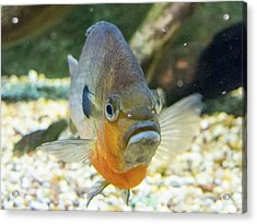 Piranha Behind Glass Acrylic Print