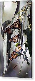 Pismo Butterflies Acrylic Print