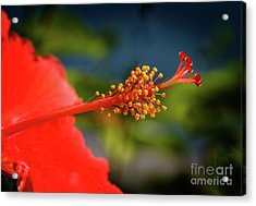 Acrylic Print featuring the photograph Pistil Of Hibiscus by Robert Bales