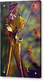 Pitcher Plant Acrylic Print by Janis Nussbaum Senungetuk