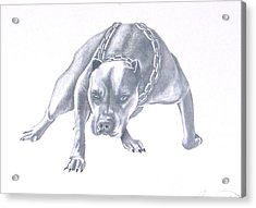 Pitt Bull With Chains Acrylic Print by Rebecca Bellomo