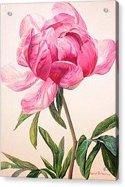 Pivoine 1 Acrylic Print by Muriel Dolemieux
