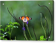 Plain Tiger Butterfly Acrylic Print by David Gn