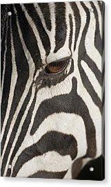 Plains Zebra (equus Burchelli), Close-up Of Eye Acrylic Print by Paul Souders