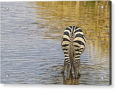 Plains Zebra Acrylic Print by Kathy Adams Clark